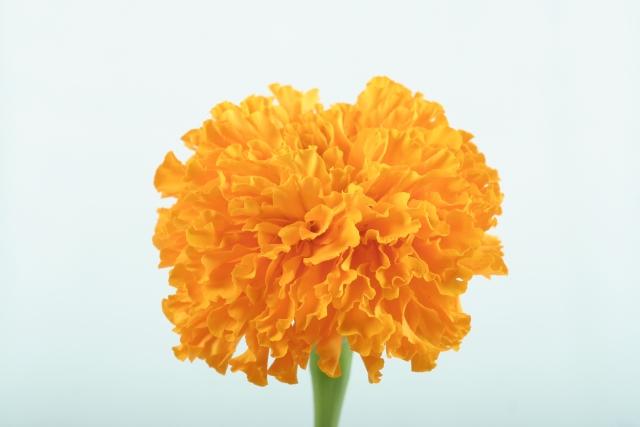 カーネーションの色別の花言葉3