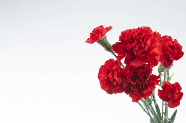 カーネーションの色別の花言葉5