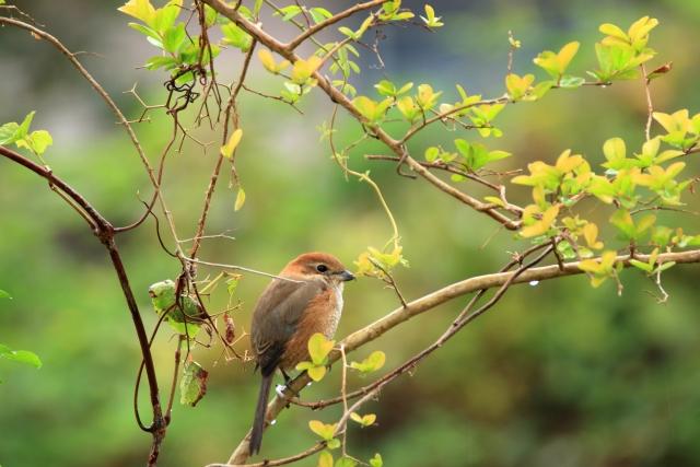 百舌鳥-1