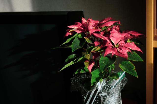 ポインセチアはクリスマス後どうすればいい!?